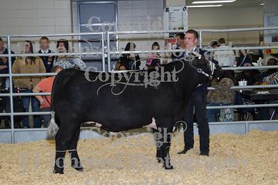 2013 Klein ISD Steer Show Class 1