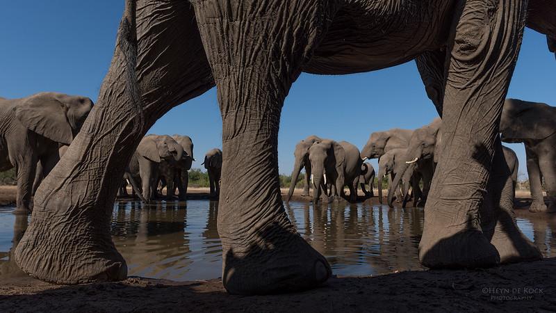 African Elephant, Mashatu GR, Botswana, May 2017-29.jpg