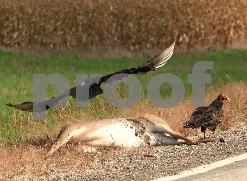 Turkey vulture, deer 5283c.jpg