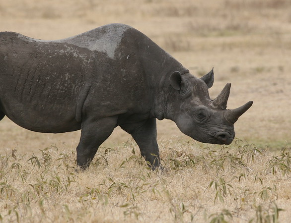 Rhino Tanzania 2006