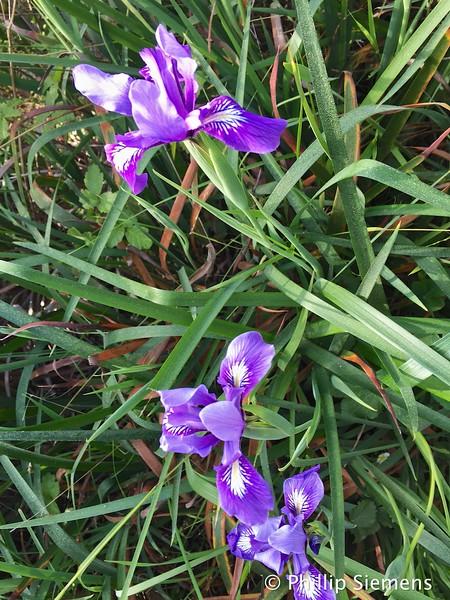 Wild Iris at Point Lobos