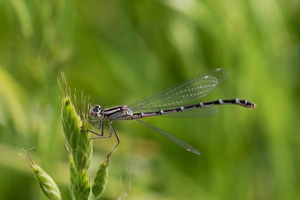 Dragonflies 2017