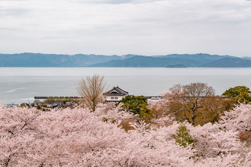 Cherry Blossoms at Hikone Castle