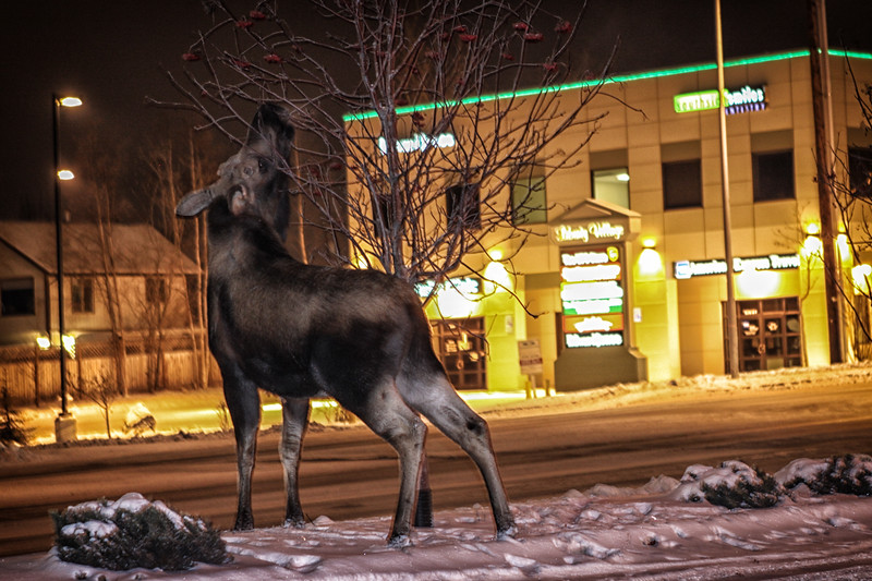 Moose-11212009-4a.jpg