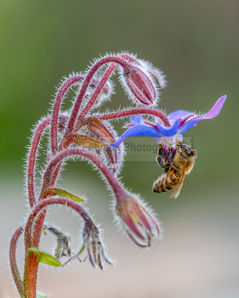 Honeybee on a Blue Flower