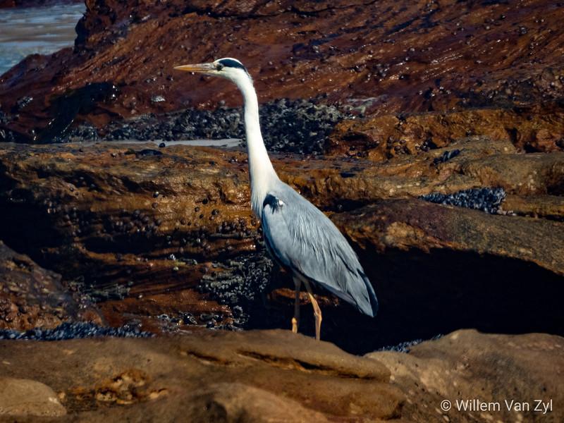 Grey Heron (Ardea cinerea) near Lamberts Bay, Western Cape