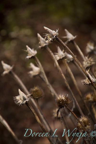 3958 Echinacea purpurea 'Merlot' winter interest_7735.jpg