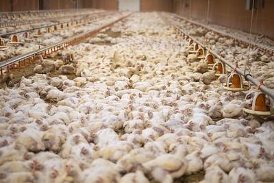 Elevage de poulets de Pihem (Pas-de-Calais)