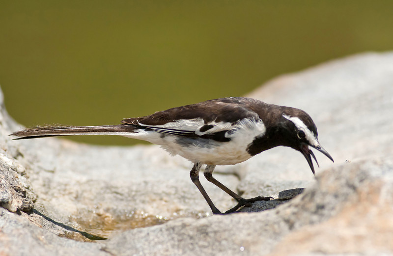 Pied wagtail....