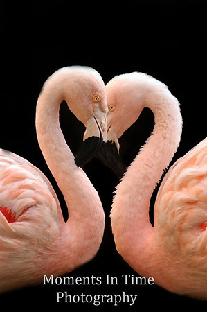 Flamingos and peacocks