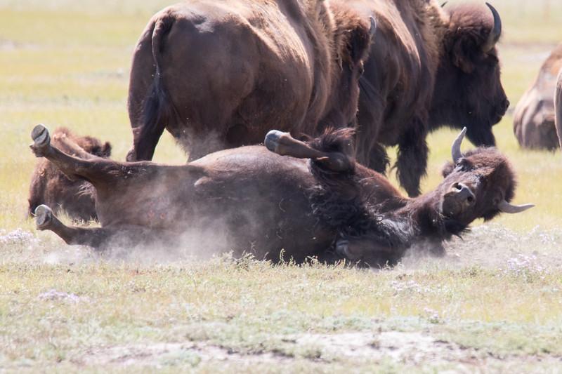 Bison Grasslands Canada 2019-4.jpg