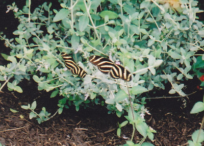 2005: Scanned Texas Butterflies (April 2005)