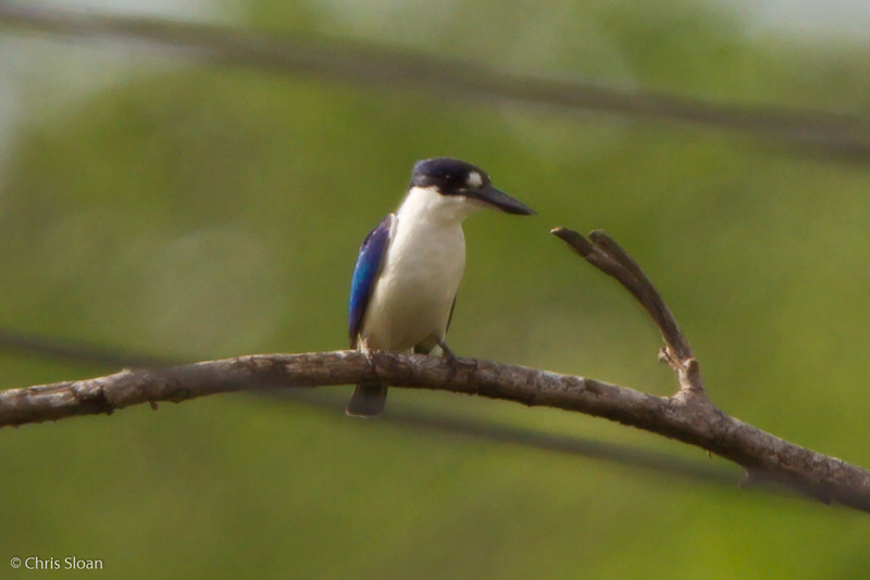 Forest Kingfisher at Pacific Adventist University, Port Moresby, Papua New Guinea (09-29-2013) 009-427.jpg