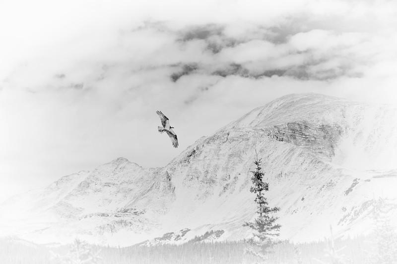 Hawk over Mountains High Key.jpg