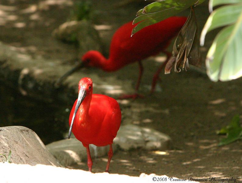 Scarlet Ibis1.JPG