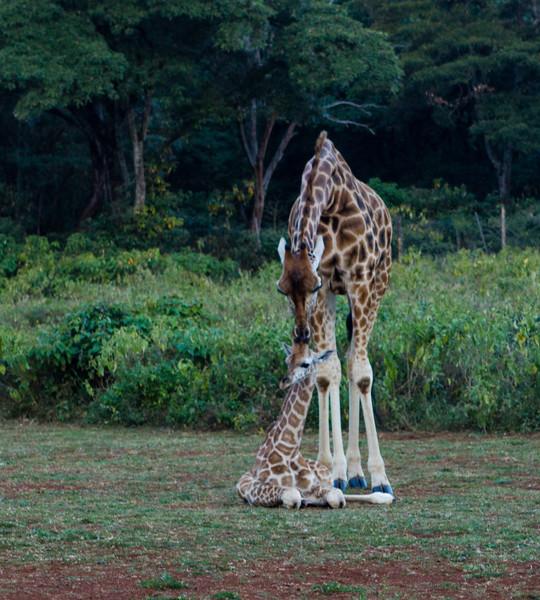 Mama and Baby Giraffe . JPG.jpg