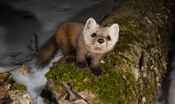 American Martens in the Adirondack Park