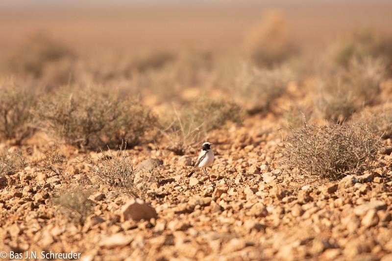 Woestijntapuit (2 van 1).jpg