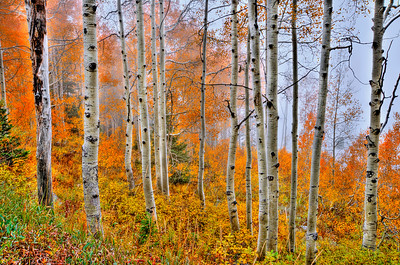 Fall colors Quaken Aspen