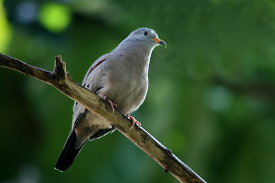Peruvian Ground Dove