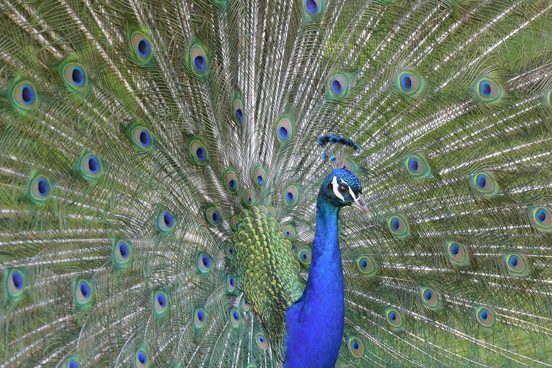 Peacock side view.jpg