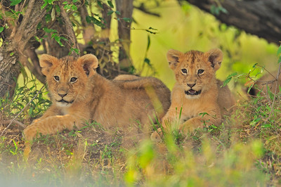 Playful lion cubs in the Masai Mara, Kenya, Africa