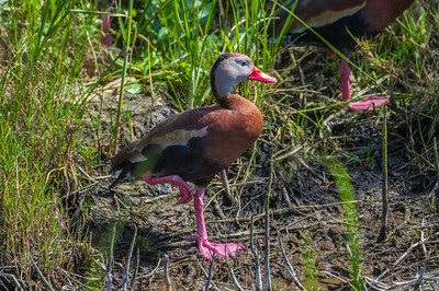 Black-bellied Whistling-Duck (Dendrocygna autumnalis )