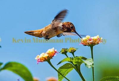 Hummingbirds 7.17.14