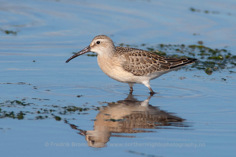 Curlew Sandpiper, Northern Norway