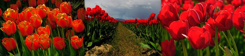 laconner_tulip_blend-1-sm.jpg
