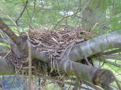 20160507 Mourning Dove Nest