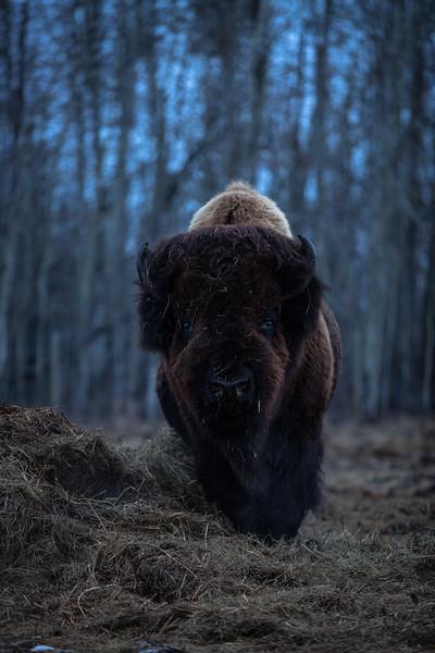 AHP171212_buffalo1426.jpg
