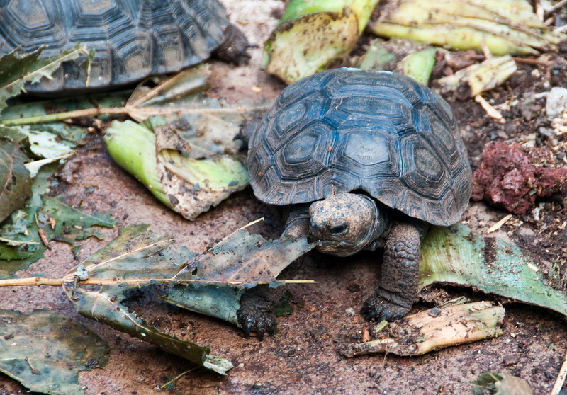A baby land tortoise, at the Darwin Center