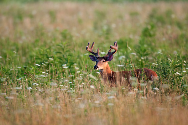Whitetail deer buck with velvet on antlers in spring in an open field