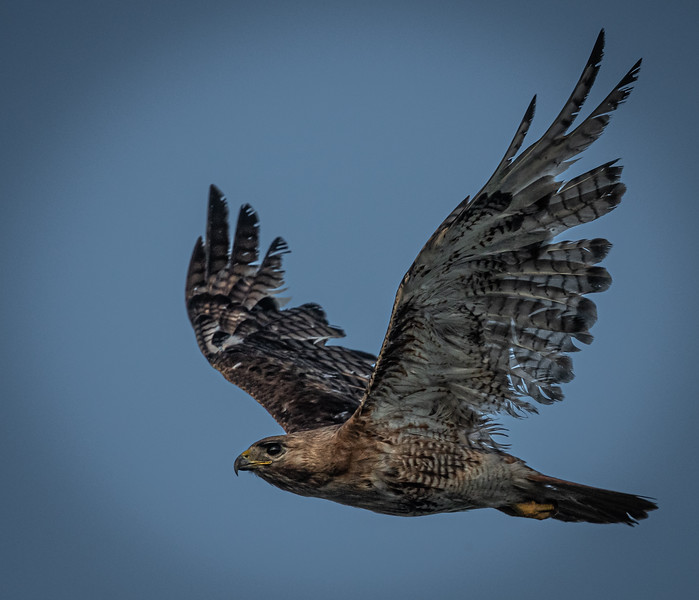 "Red-Tail Hawk ""Scrappy"" flying"