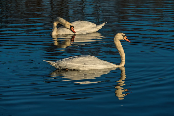 Birds - Waterfowl 1 - All swans