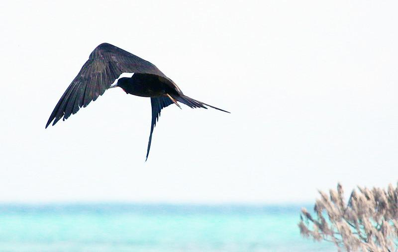 Male Frigate bird maneuvering