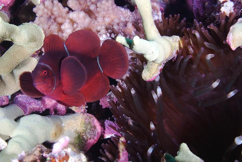 Spine Cheeck Anenome Fish 6.jpg