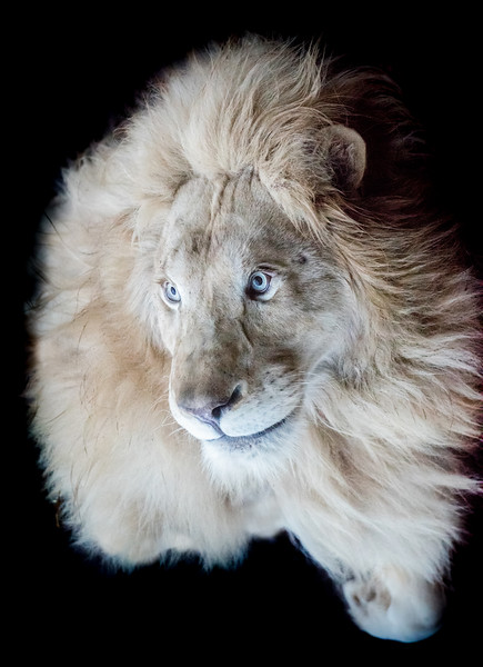 White lion looking up