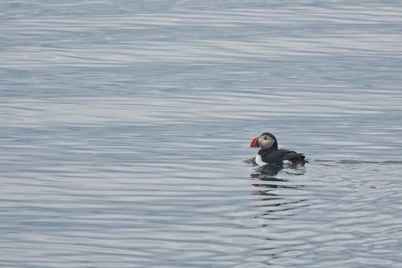 puffin isafjordur .jpg