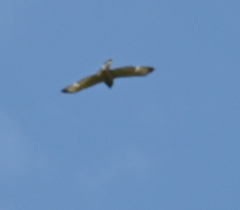 Red-shouldered Hawk over the woodland-wetland shoreline area , in Area 1 (Photo by Gerry McKenna)