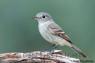 Gray Flycatcher, Cabin Lake OR, USA