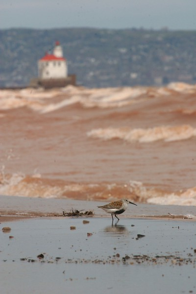 Dunlins look like their bellies have been dipped in ink [May; Wisconsin Point, Superior, Wisconsin]