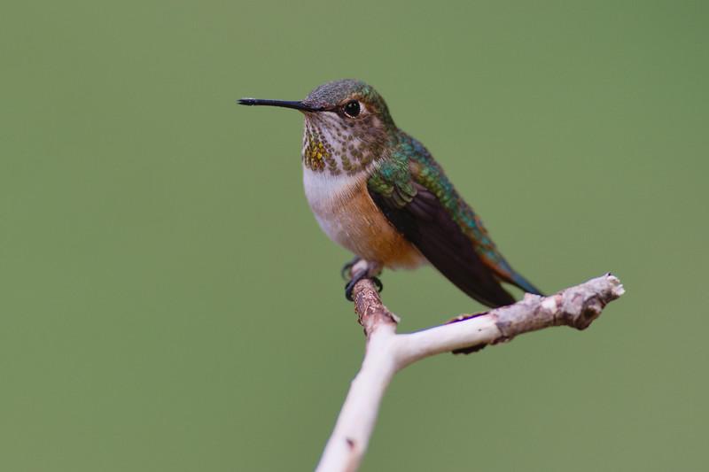 RufousRufous Hummingbird