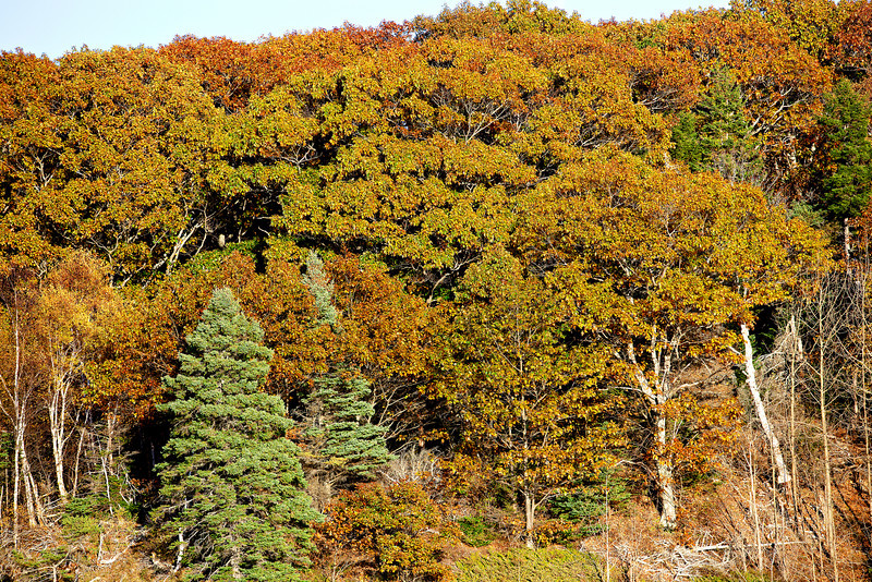 Bar Harbor Fall Trees.jpg