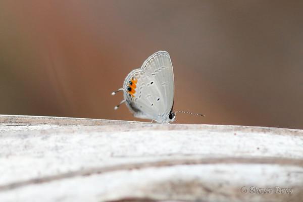 Orange-tipped Pea-blue