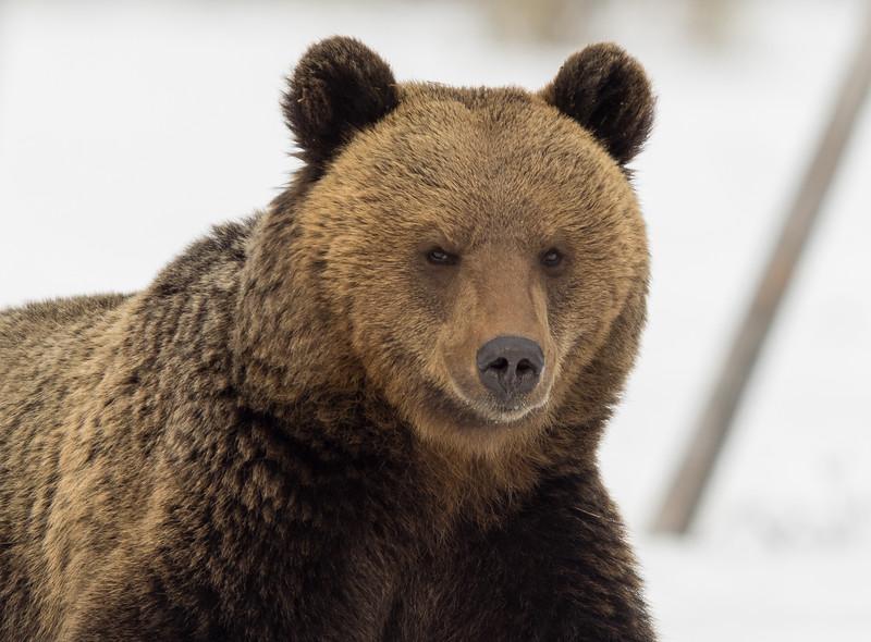 Brown Bear looking smug