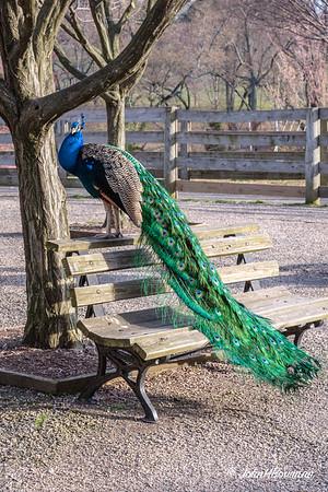 Peafowl-Peacocks