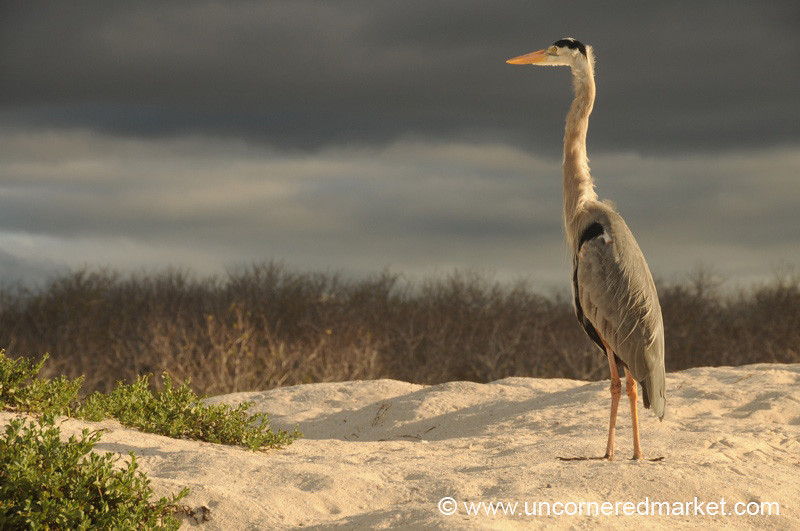 A Heron Scopes Out the Beach - Galapagos Islands
