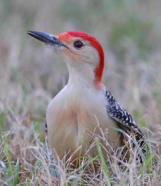 Red-bellied woodpecker 971